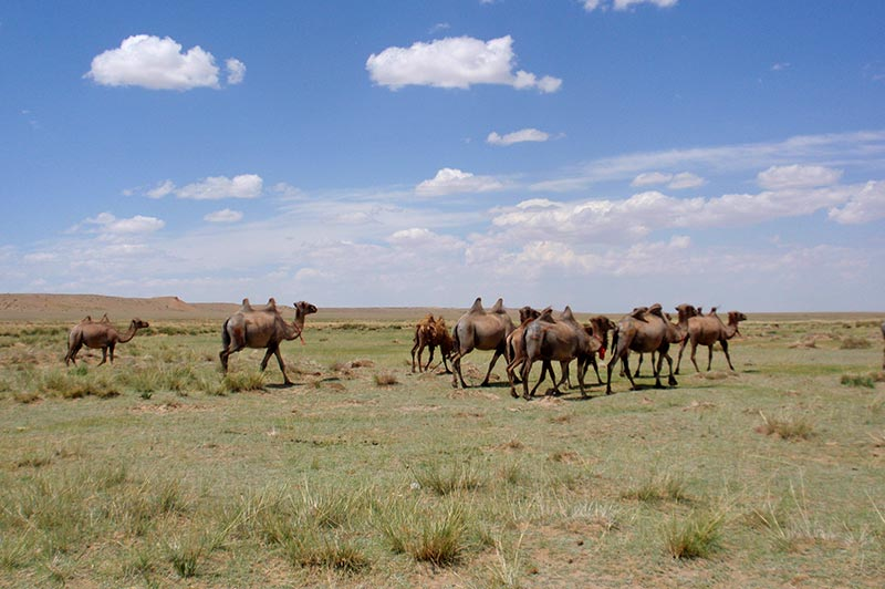 Bactrian Camel Herd