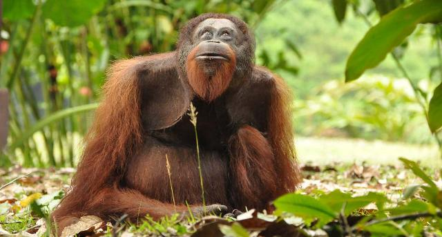Orangutan in Malaysia's Danum Valley