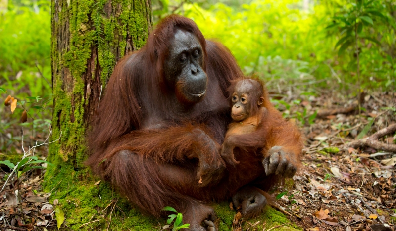 Borneo's orangutans are arguably its main attraction