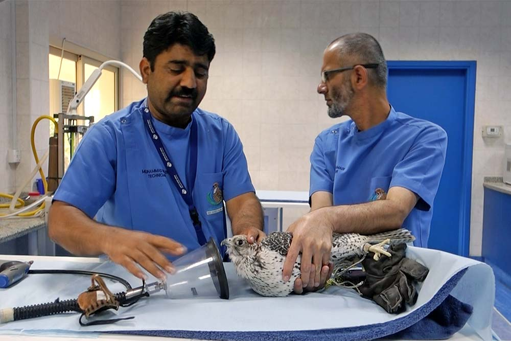 Doctors applying anaesthesia to a Falcon.