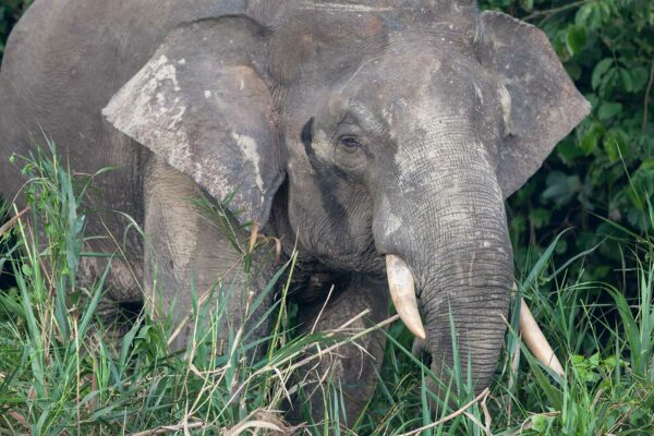 Chasing the Tail of the Pygmy Pachyderm
