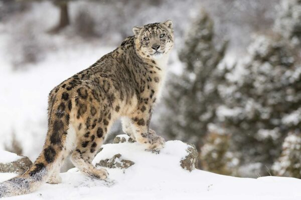 How to Spot a Snow Leopard at 13,000 feet