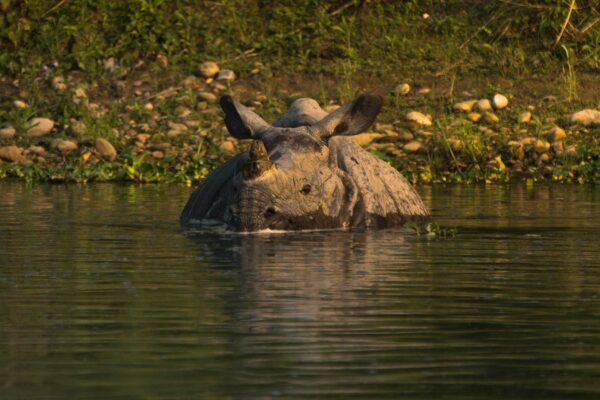Searching for the Unicorn Rhinos of Chitwan