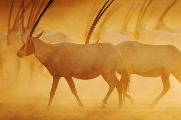 Sir Bani Yas: Staying in Style in the UAE's Safari Paradise