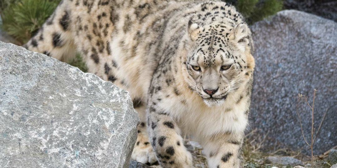 Remote Lands Cold Winter Pick: Ladakh for the Snow Leopards