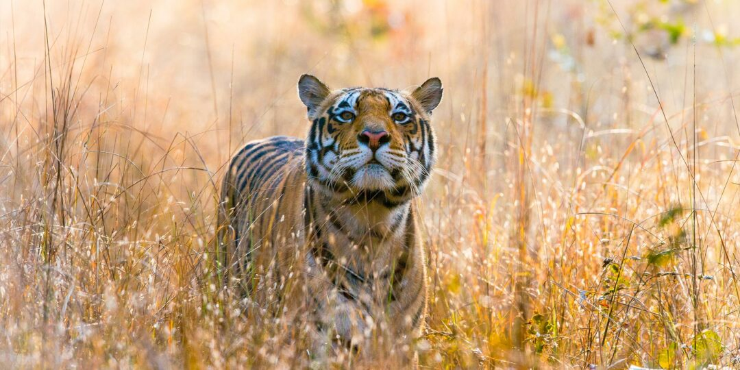 India Unexplored: Tigers at Kanha