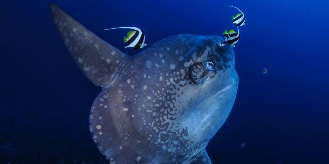 Diving with Mola Mola at Bali's Crystal Bay