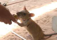 Visit with the Next Generation of Bomb Sniffing Rats in Cambodia