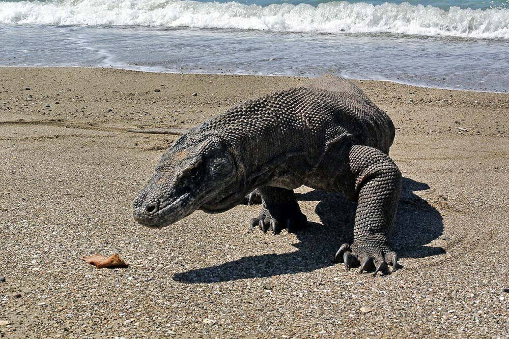 the komodo dragon essay The komodo dragon is a dominant predator that is found exclusively on the indonesia's lesser sunda islands and is the heaviest lizard found on earth komodo dragons are highly venomous lizards that have a prehistoric appearance and are a source of numerous legends in chinese folklore and religion.