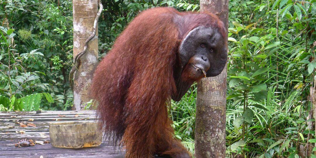 Winding River Path to the Orange Ape of Borneo