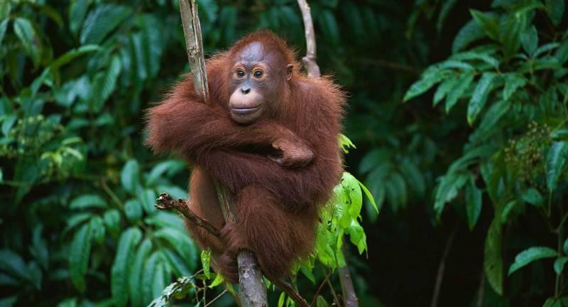 Orangutan, Kalimantan, Indonesian Borneo