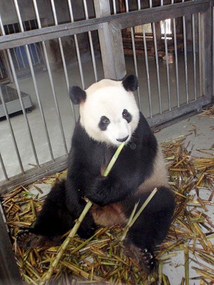 Panda eating bamboo.