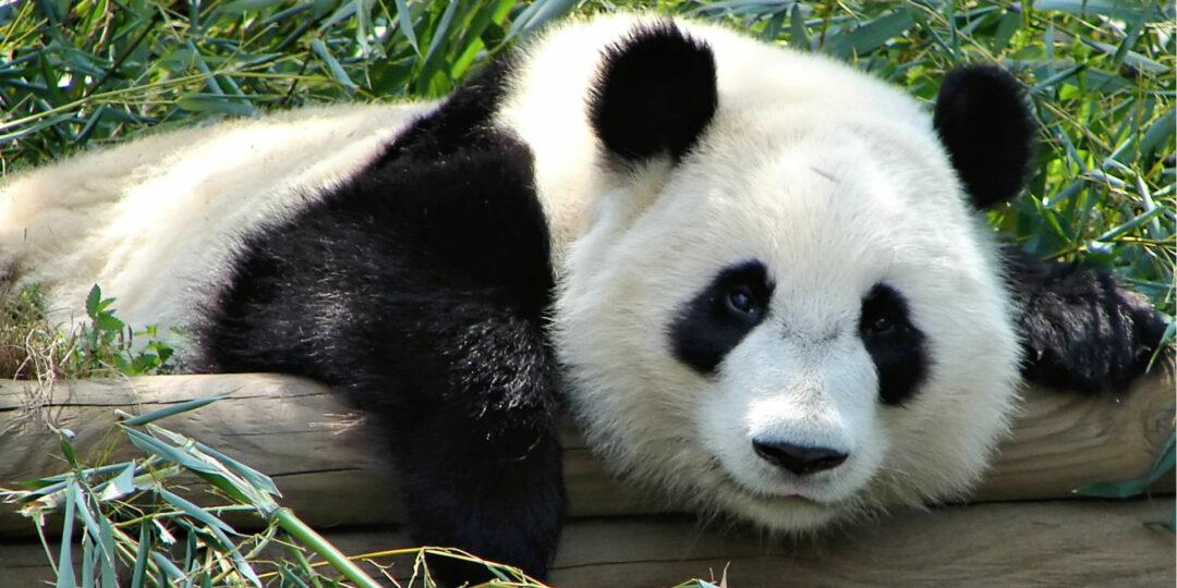 The Unbearable Cuteness of Pandas: My Experience in Chengdu