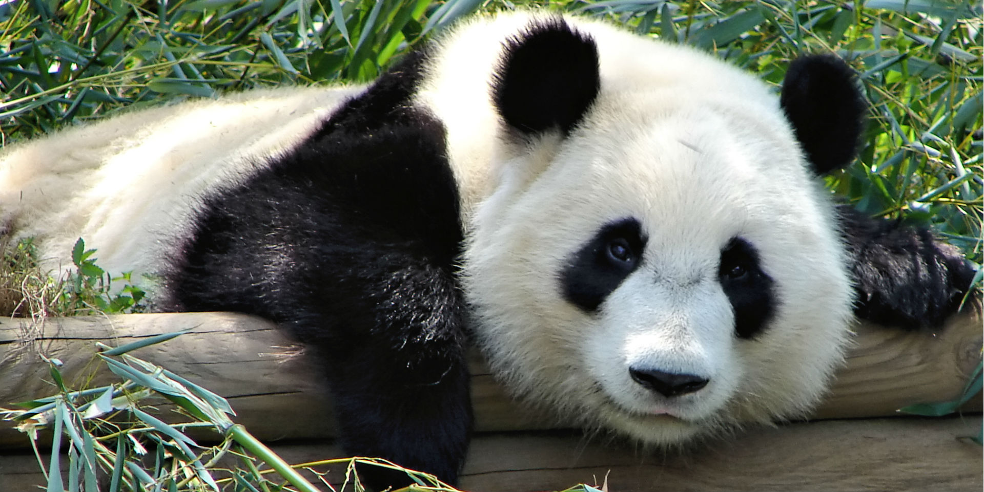 The Unbearable Cuteness of Pandas: My Experience in Chengdu