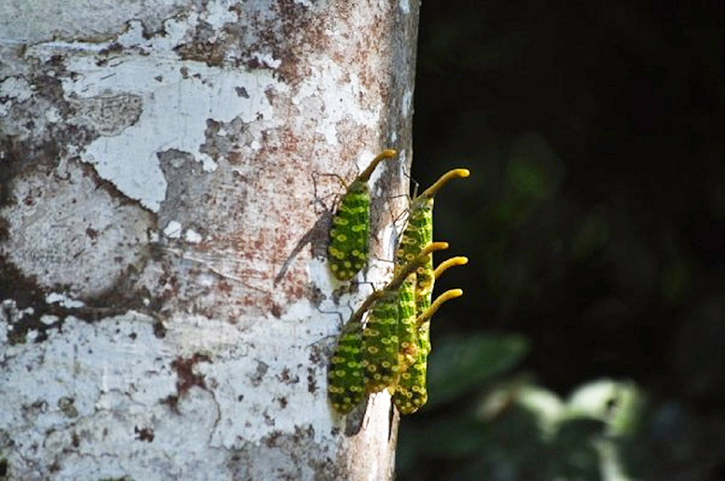 Borneo-Insects