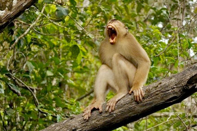 Borneo-monkey
