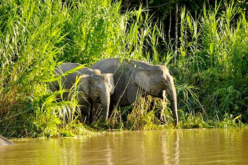 Pygmy Elephants in the Danum Valley