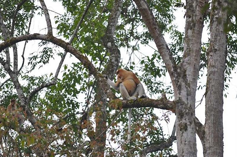 Proboscis monkey on the Kinabatangan river.