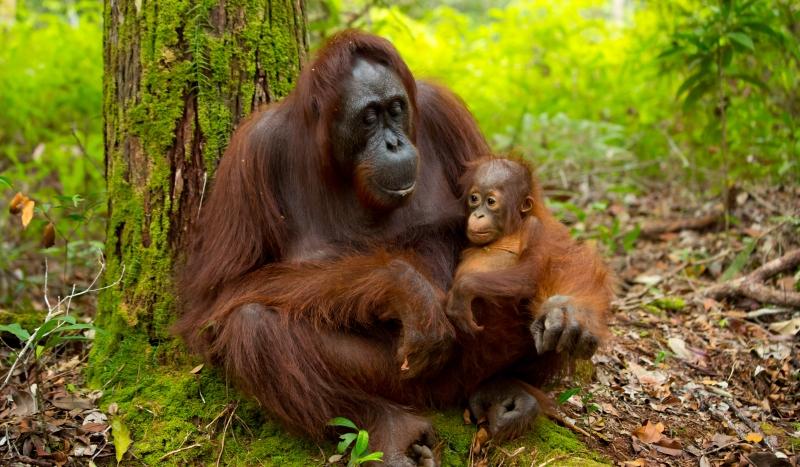 Borneo's orangutans are arguably its main attraction