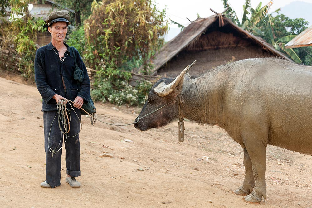 An Akha Oma man bringing his buffalo back from the farm.