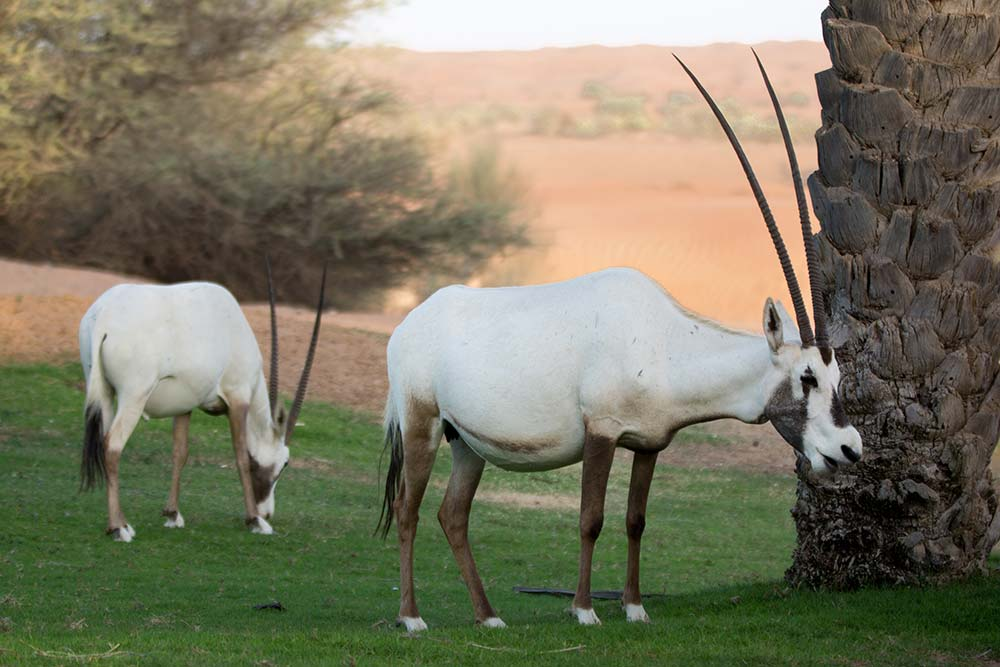 Arabian Oryx grassing on the grounds of the Al Maha resort.