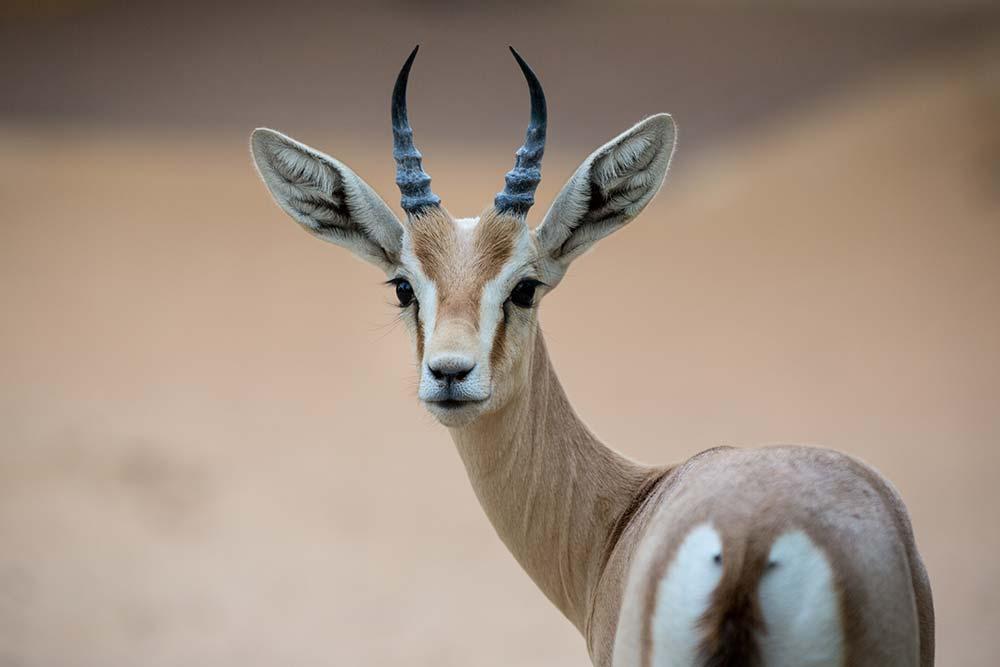 Arabian Gazelles are plentiful around Al Maha.