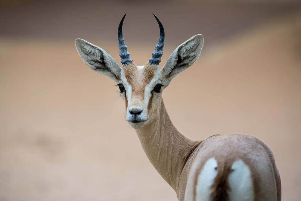 Arabian Gazelles are plentiful around Al Maha.