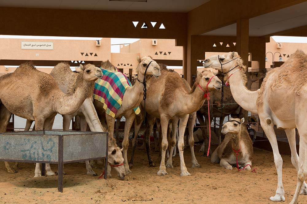 There are more than 500 camels at the Al Ain Camel Souk making it the largest in the UAE.