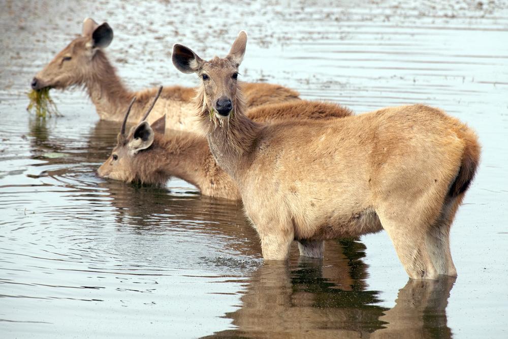 Axis deer in Ranthambore National Park