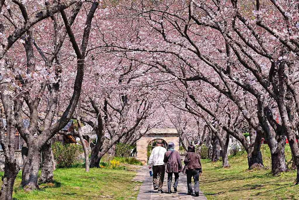 Cherry blossom season in Kyushu
