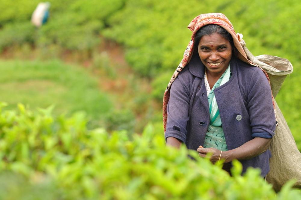 The tea fields of Sri Lanka]