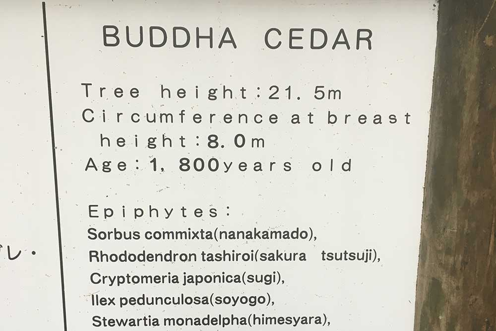 Buddha Cedar