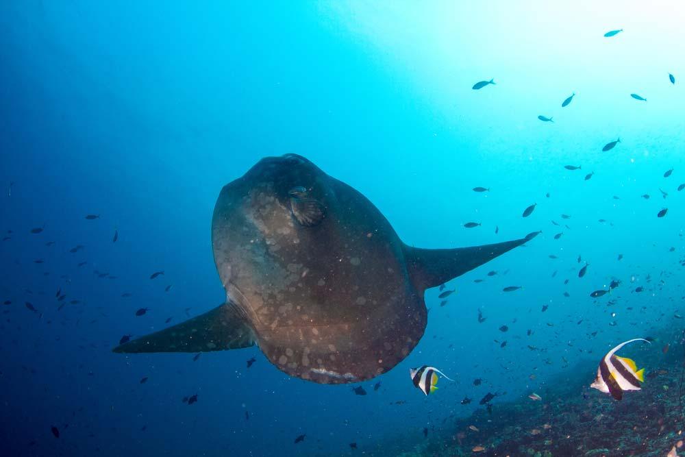 Mola Mola-Bali