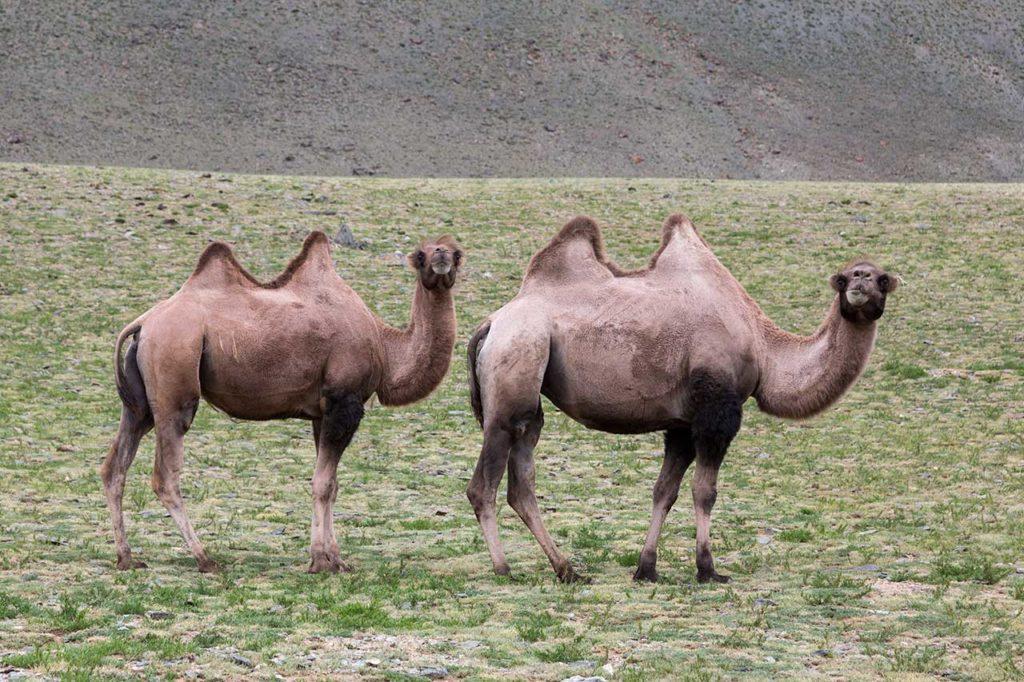 Sair_camels-1024x682