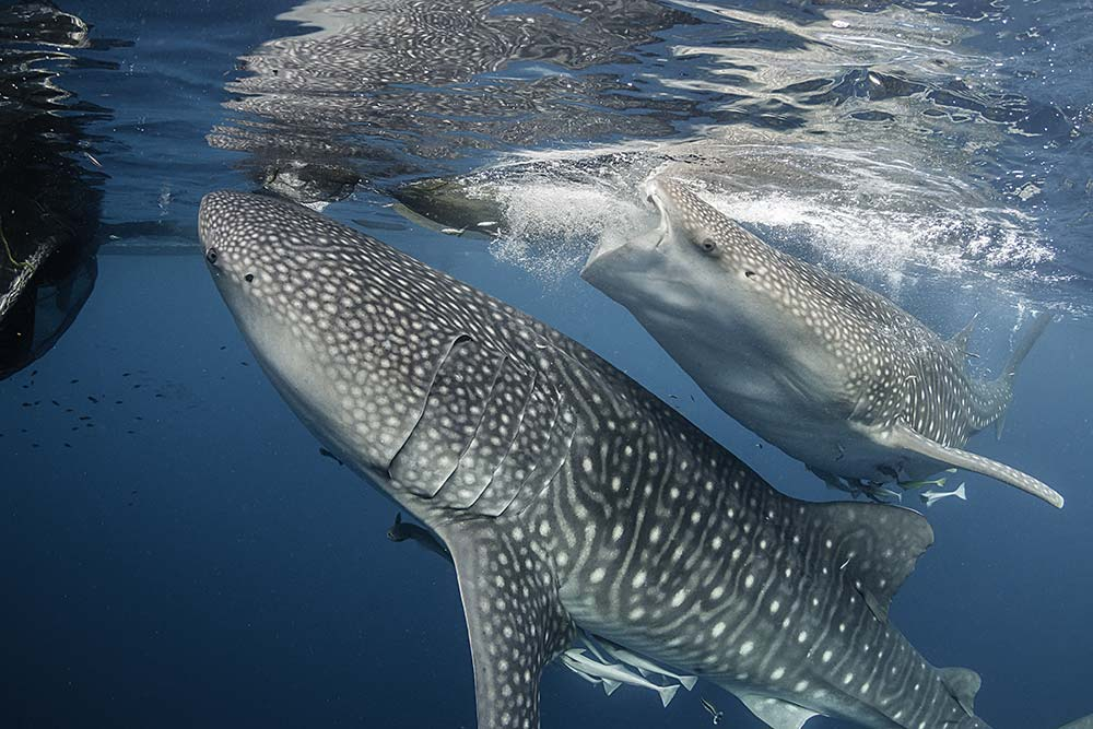 Underwater view of whale sharks,West Papua, Indonesia.