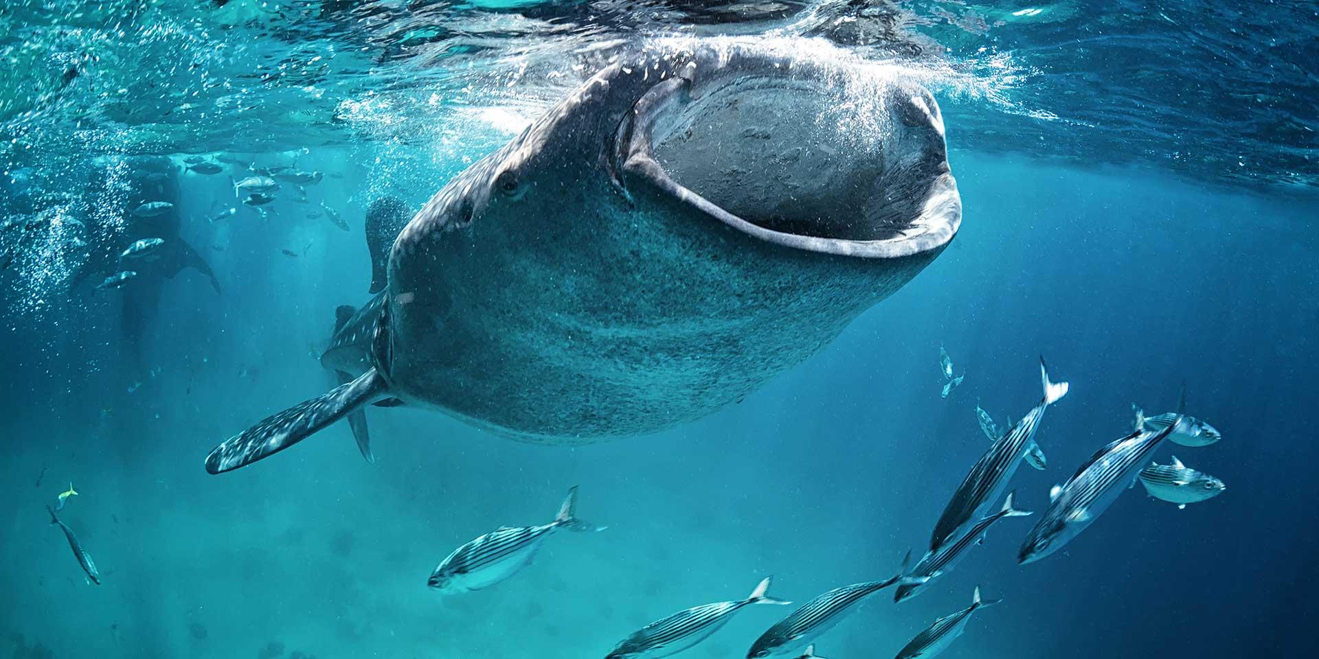 Chasing Five of Indonesia's Underwater Superstars
