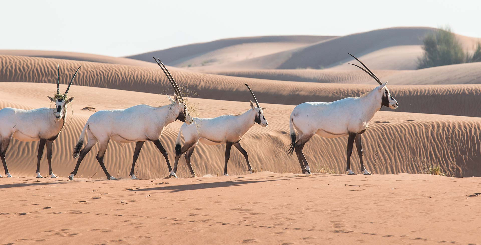 The Oryx of Arabia: Back from the Brink