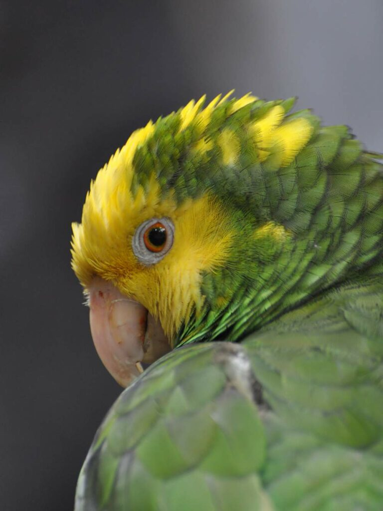 Portrait_of_Yellow-headed_Amazon_Parrot__1498128600_223.27.201.185