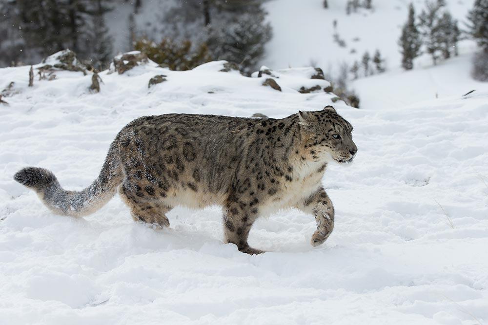 leopard to leh