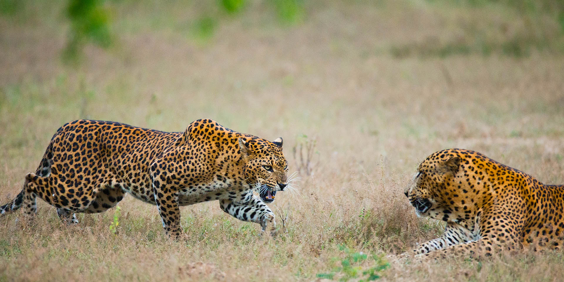 Looking for Sri Lankan Leopards in Luxury