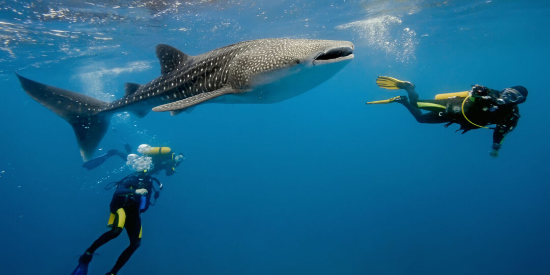 How Far Would You Go to Dive with Whale Sharks?