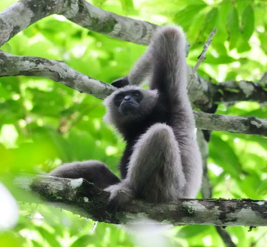Borneon_Gibbon_yl_2D9C96