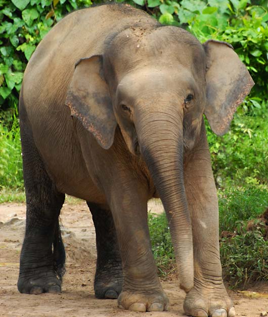 elephant-ELEPHAS_MAXIMUS