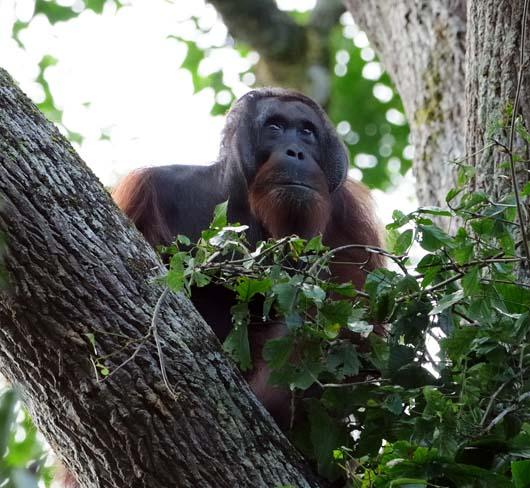 orangutan-Pongo_Pygmaeus