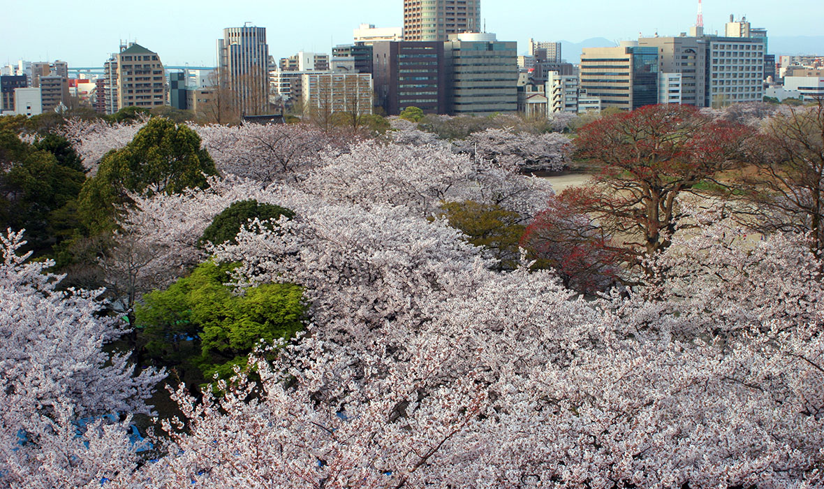 Sea of sakura near Fukuoka.