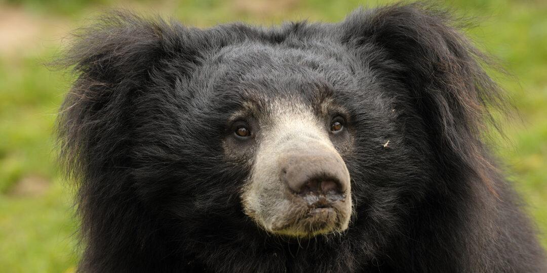How to Spot the Adorably Disheveled Sloth Bear of Sri Lanka