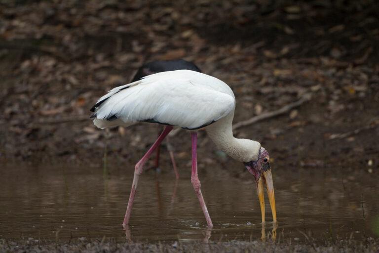 Milky-Stork
