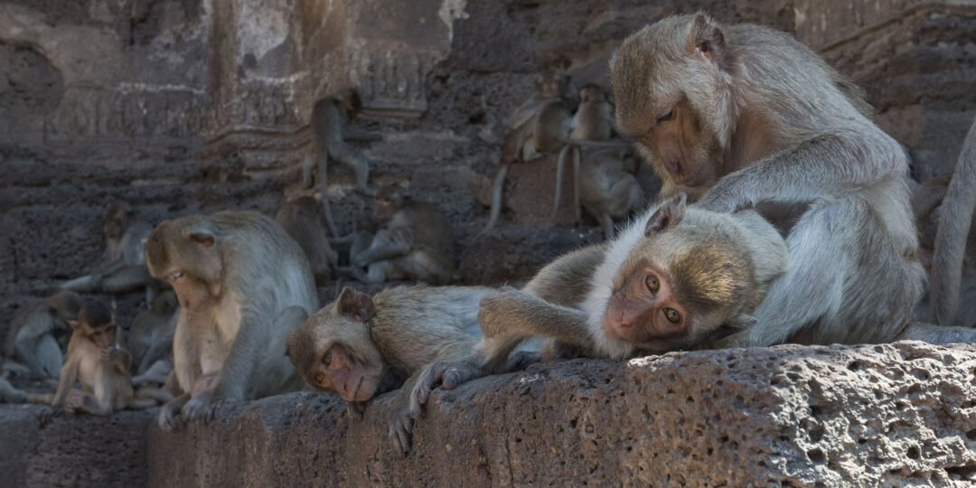 The Great Monkey Temple Feast of Lopburi