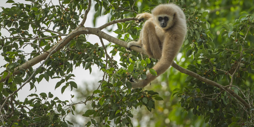 Gibbon Spotting: Finding Thailand's Most Charming Primate in Khao Yai
