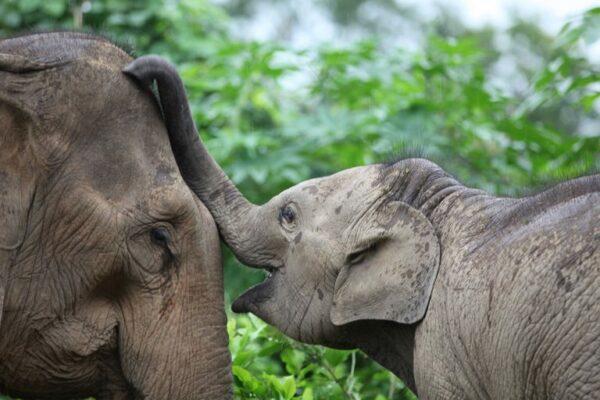Elephants at MandaLao.